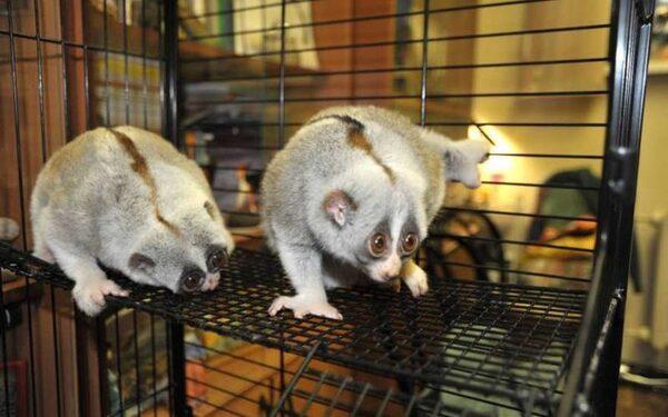 В Московский зоопарк из Калужской области прибыли две толстые лори