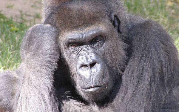 Эбола гораздо опаснее для обезьян
