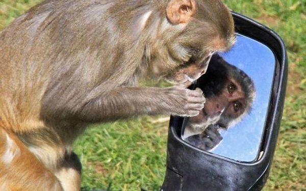 Ученые: Макак-резусов научили узнавать себя в зеркале