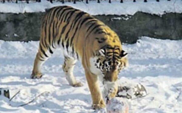 Калиниградская тигрица лепит снежки