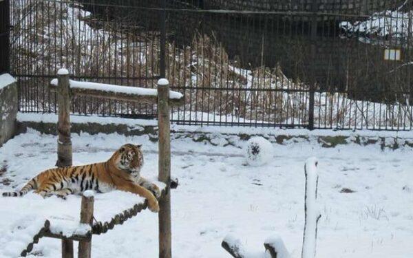 В Калининграде амурская тигрица лепит снеговиков ФОТО ВИДЕО