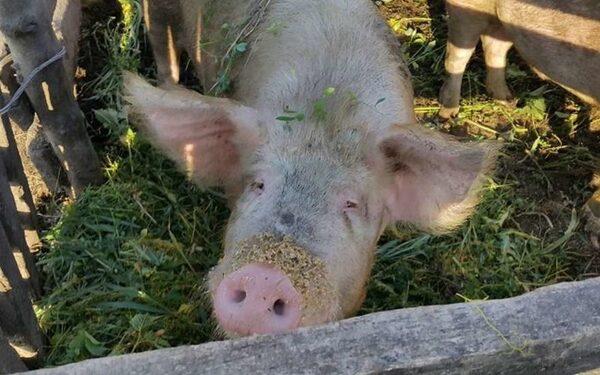 В Британии начнут выращивать донорские органы внутри животных