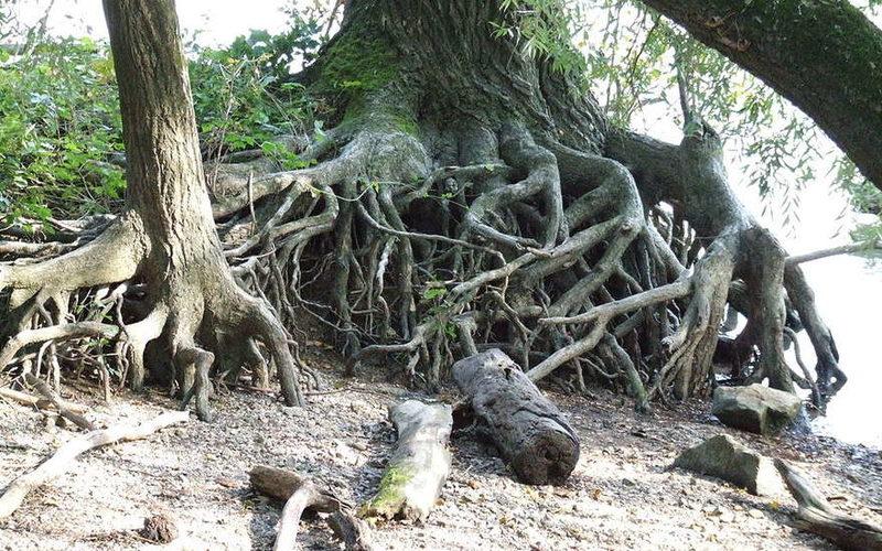 Ученые: деревья общаются друг с другом через корневую систему
