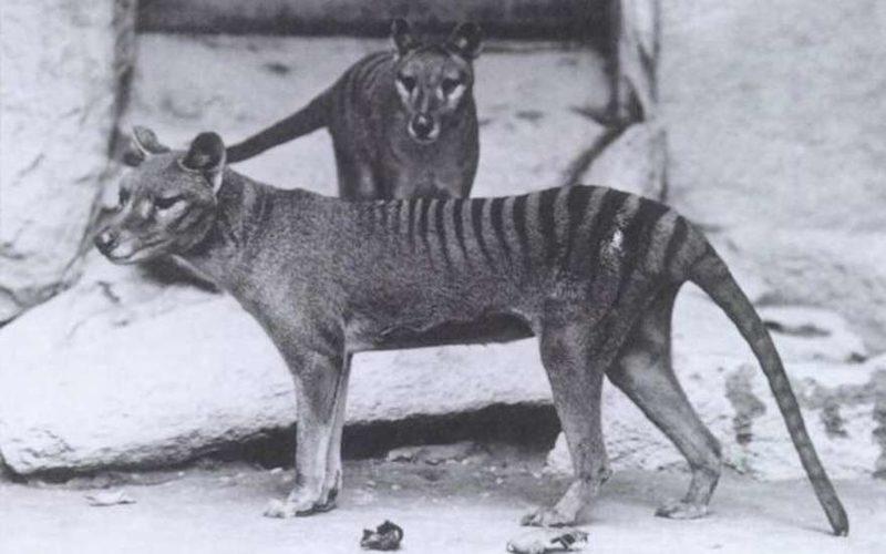 В Австралии видеокамера зафиксировала животное, считавшееся давно вымершим