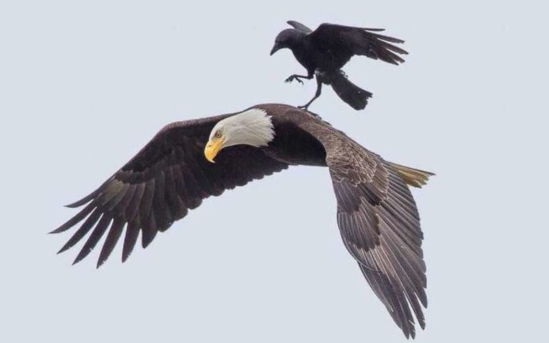 Ворон и орел