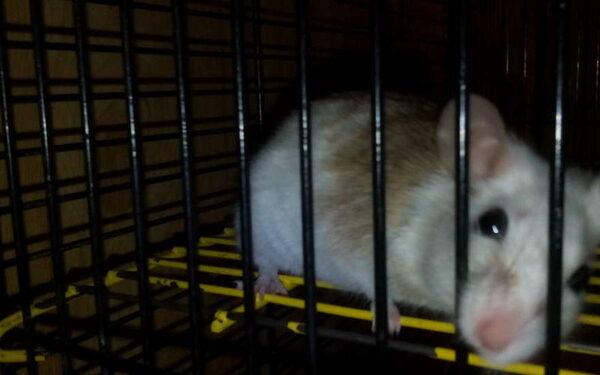 Сколковские учёные «напечатали» на биопринтере щитовидку, которая прижилась у мыши
