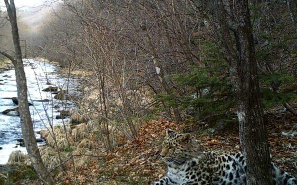 Самка леопарда станцевала перед объективом видеоловушки