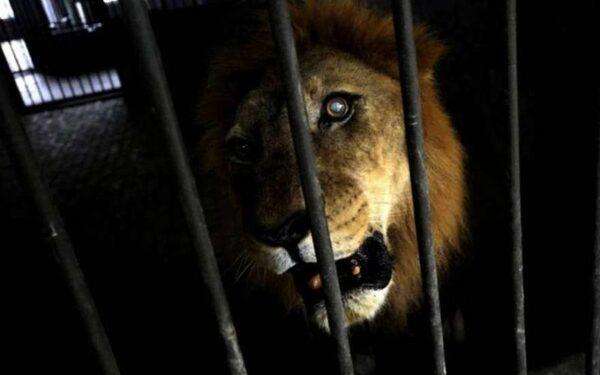В Оренбургской области лев откусил руку работнику передвижного самарского цирка