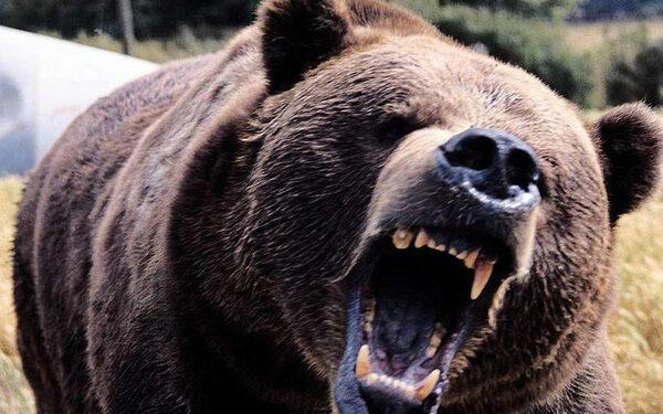 В Чунском районе разъяренный медведь задрал лесозаготовителя