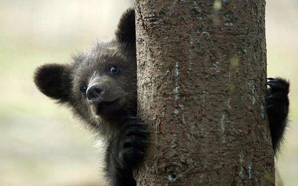 В США 4 медведя переели шоколада и погибли