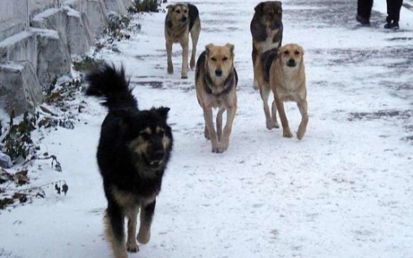В Чите 10-летнего ребенка покусала стая собак
