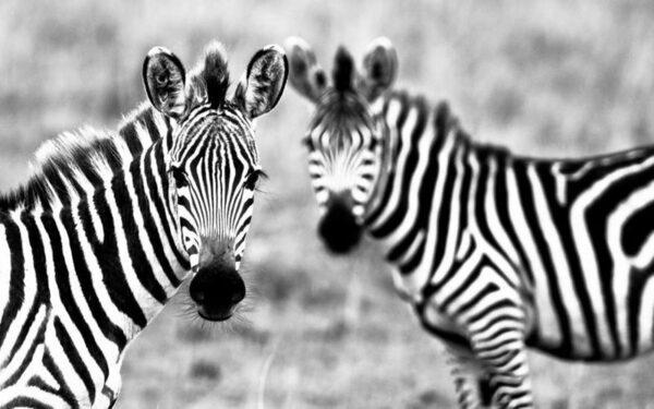 Полоскам зебр нашли научное объяснение